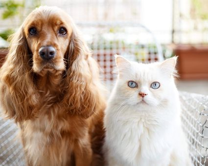 Cocker spaniel dog and white cat with blue eyes looking at the camera.
