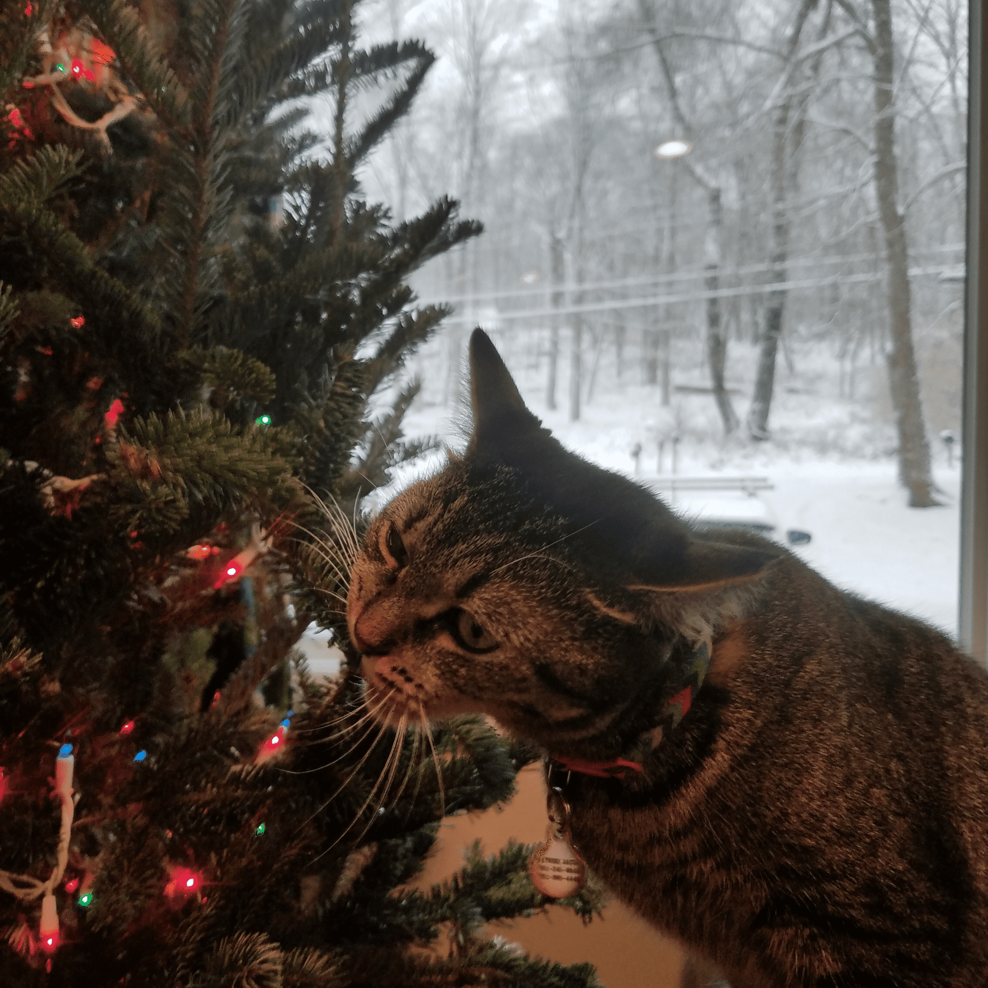 Are Christmas Trees Bad For Cats: Are Christmas Trees Poisonous To Cats And Dogs?