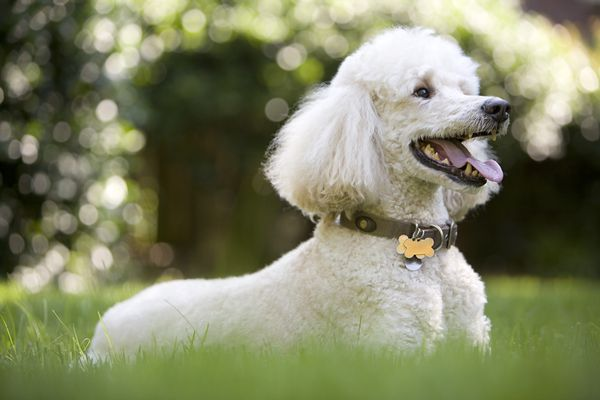 White poodle playing in the yard
