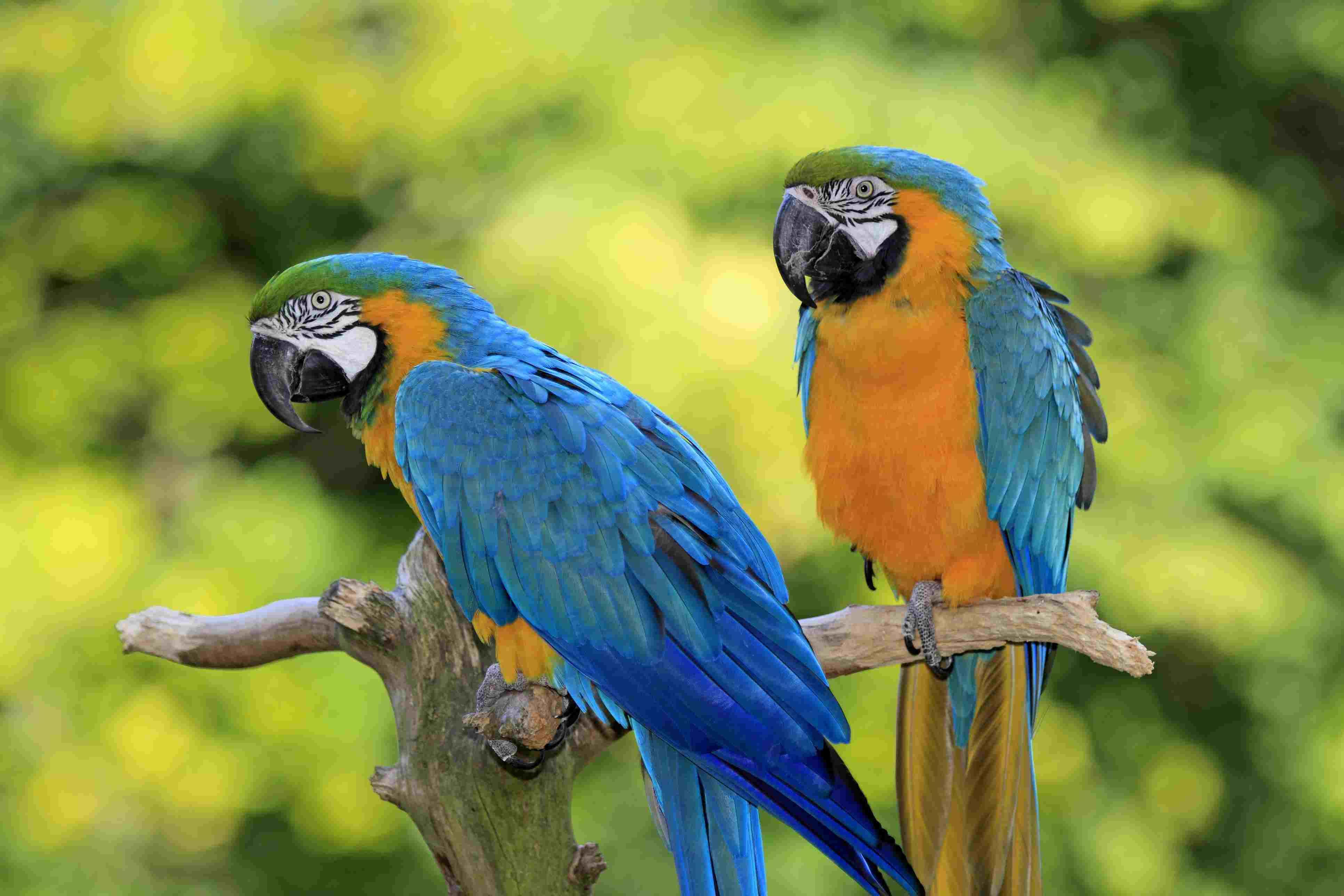 Blue and Yellow Macaws (Ara ararauna), pair, native to South America, captive, Wachenheim, Germany