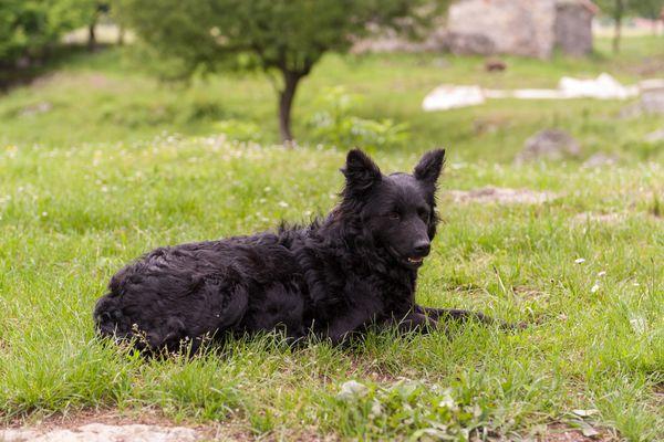 A Croatian Sheepdog lying in the grass