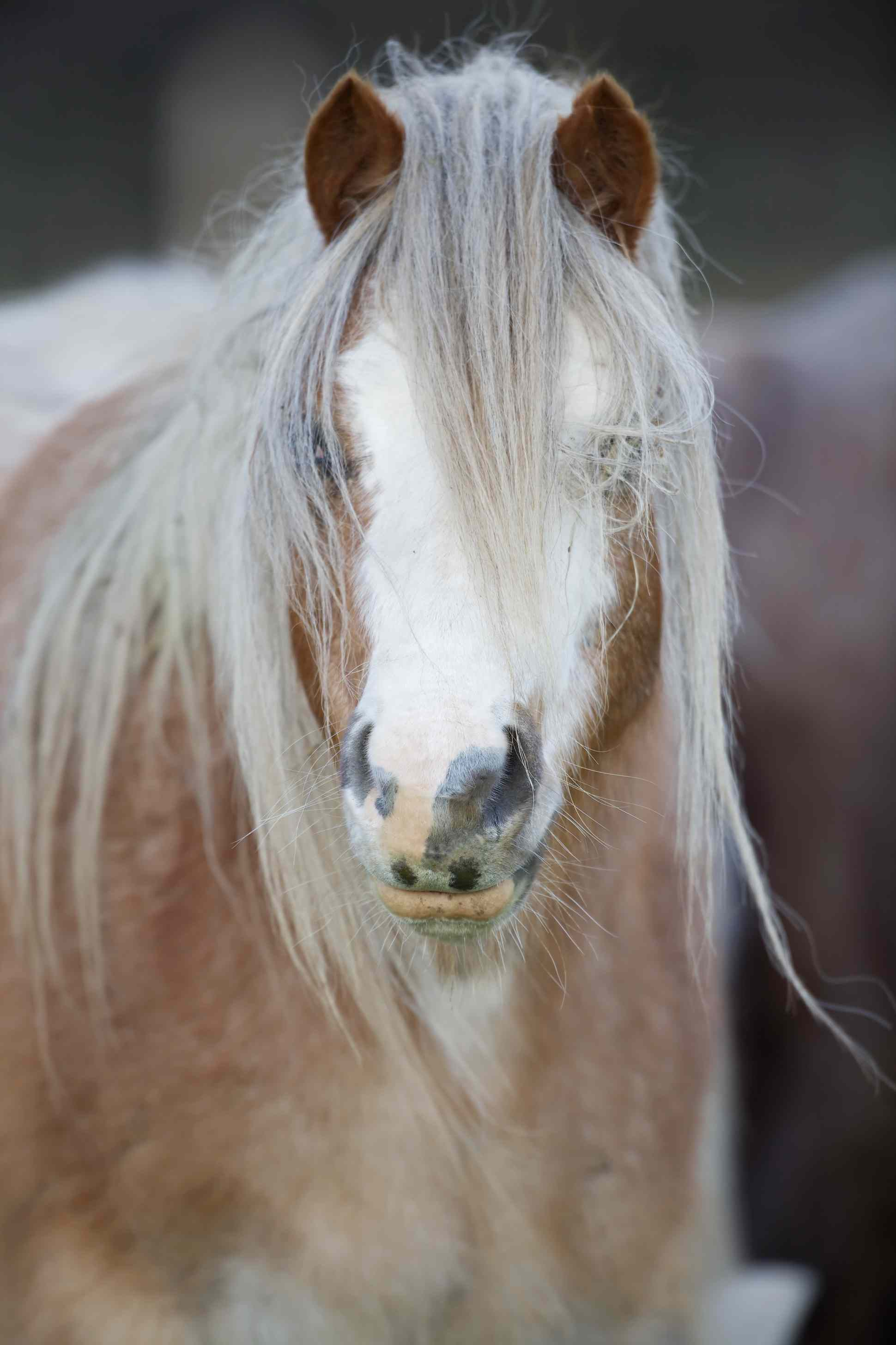Welsh Mountain Pony (Equus ferus caballus) with long mane. Descendent of the ancient Celtic mountain pony which lived wild in the hills of Wales for centuries. UK