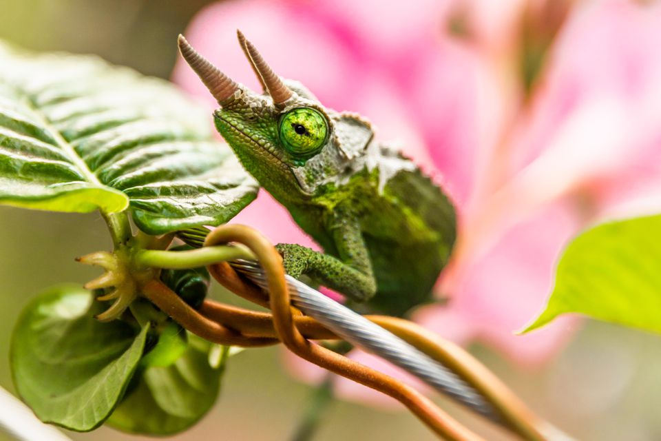 Green chameleon climbing on vine with leaves and pink flower closeup