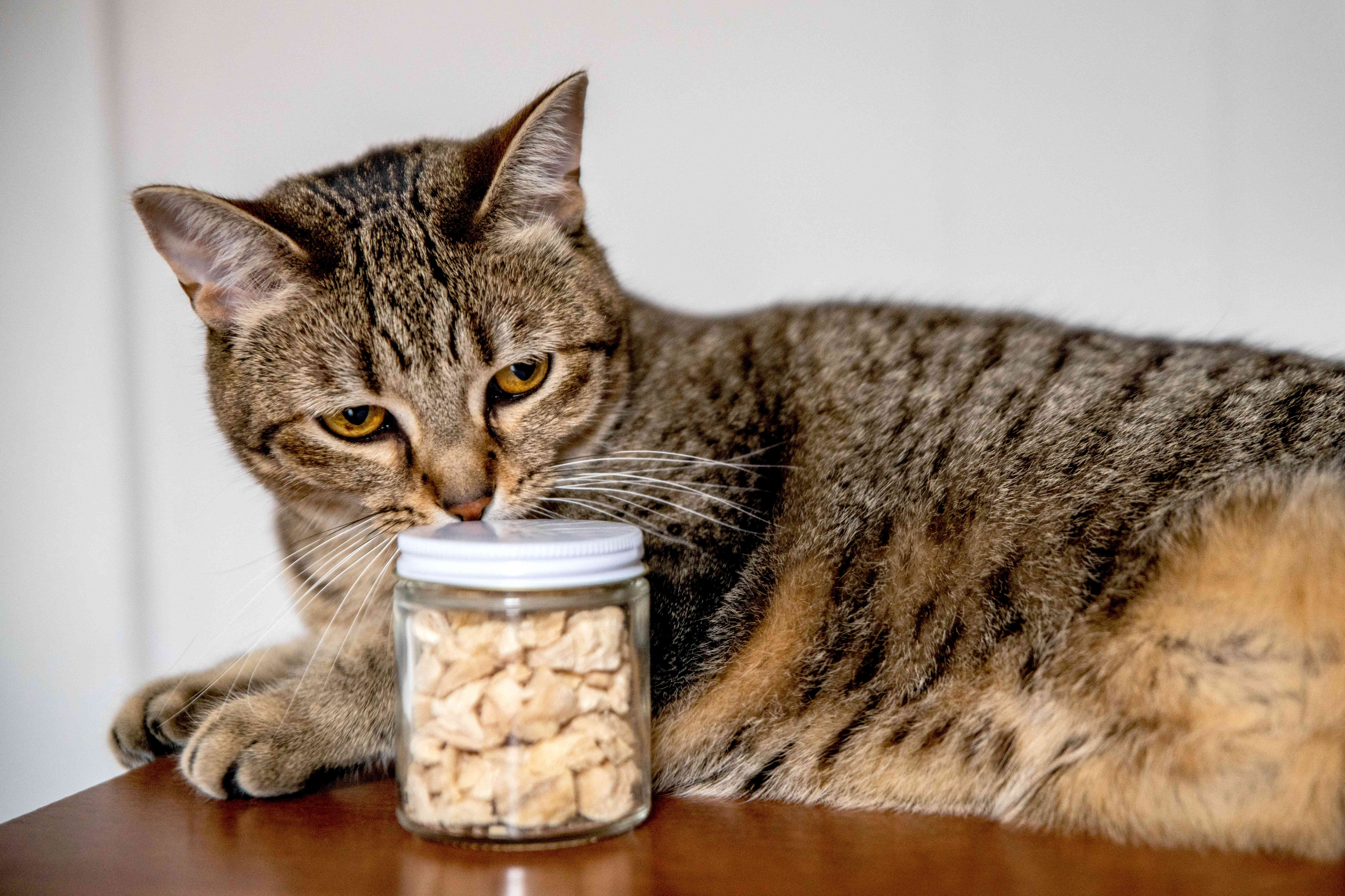 Brown cat sniffing glass container with treats