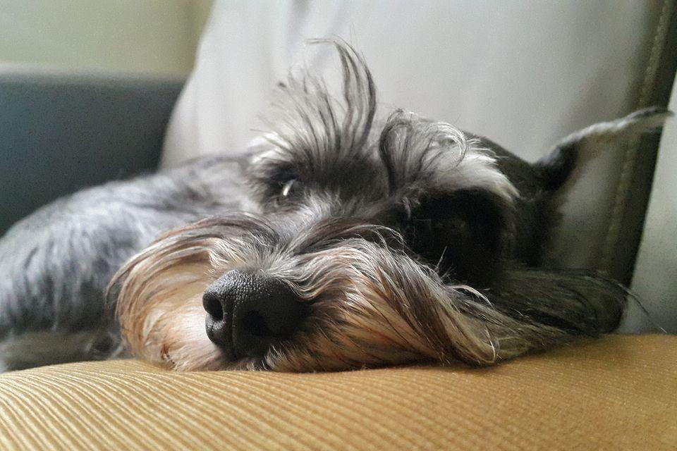 Retrato cercano de schnauzer en el sofá