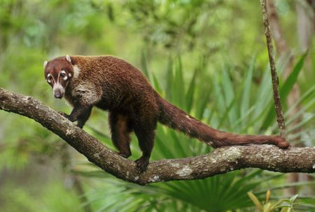 Keeping and Caring for a Pet Coatimundi (Coati)