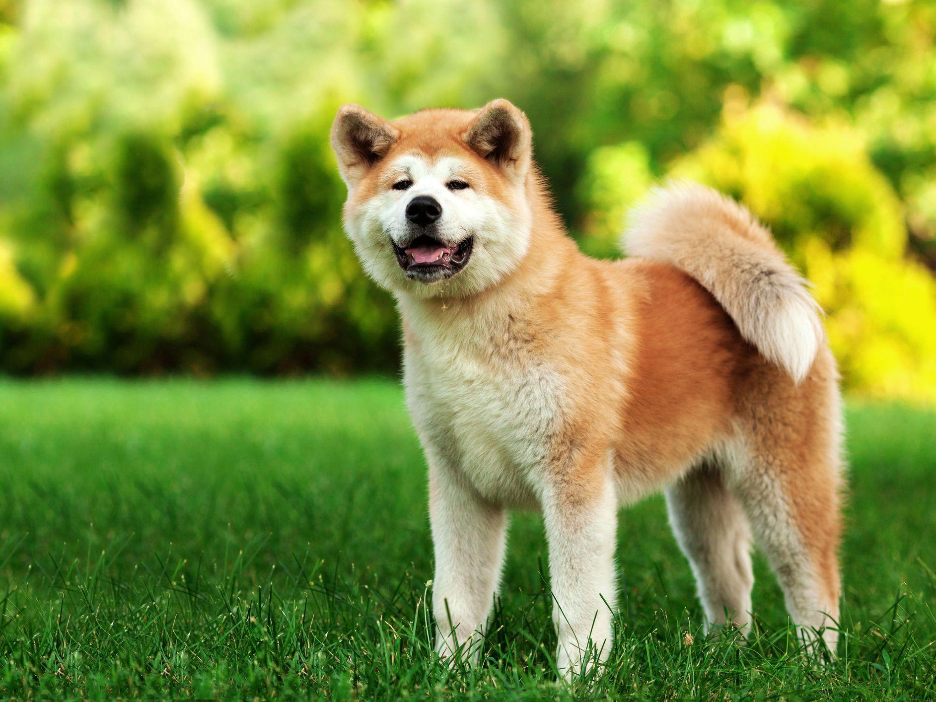 Akita Full Profile History And Care