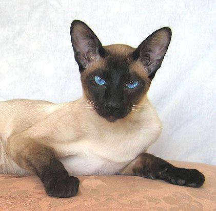 Imagen de Lancelot, un gato siamés