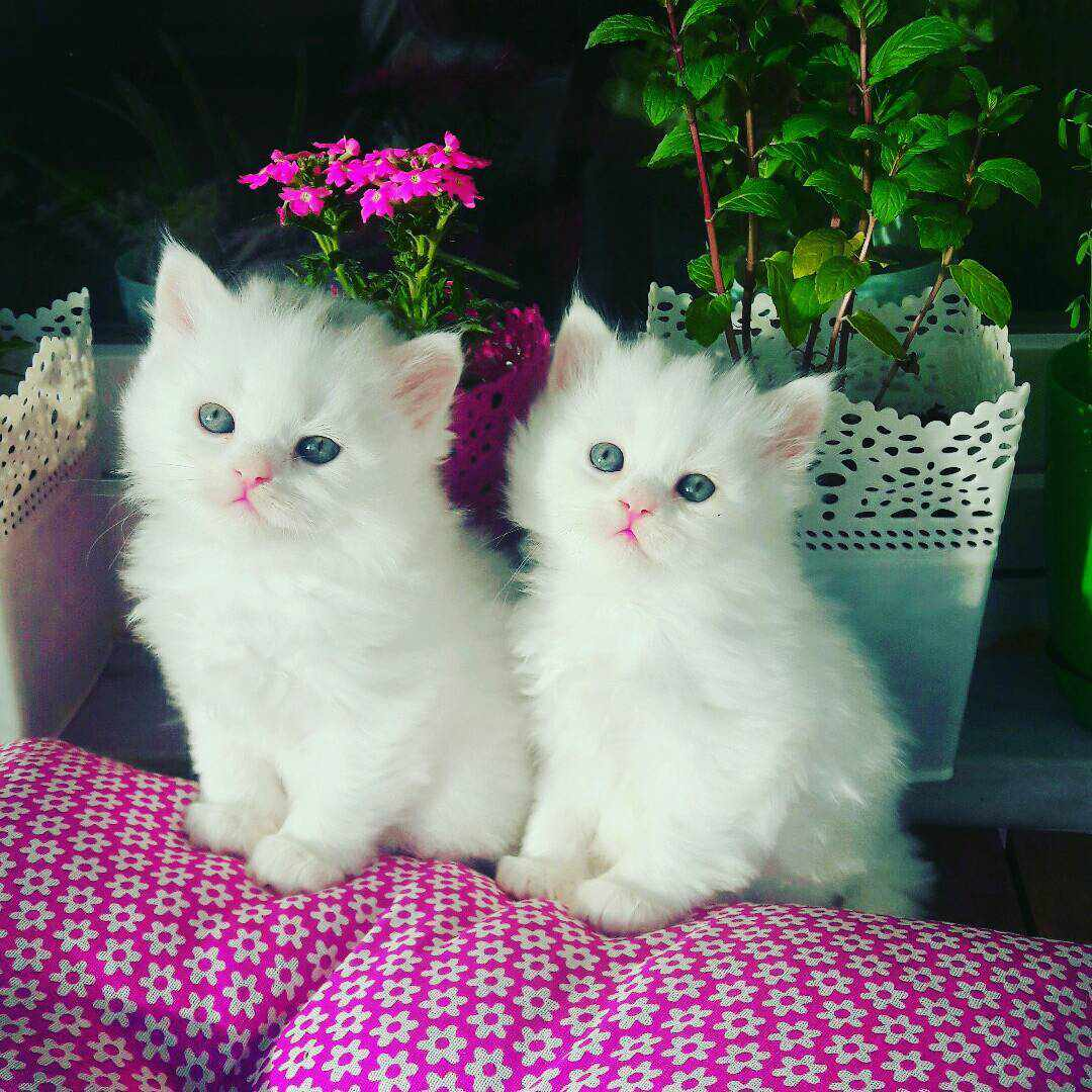 9 Beautiful White Cats And Kittens