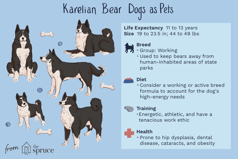 karelian bear dogs as pets illustration