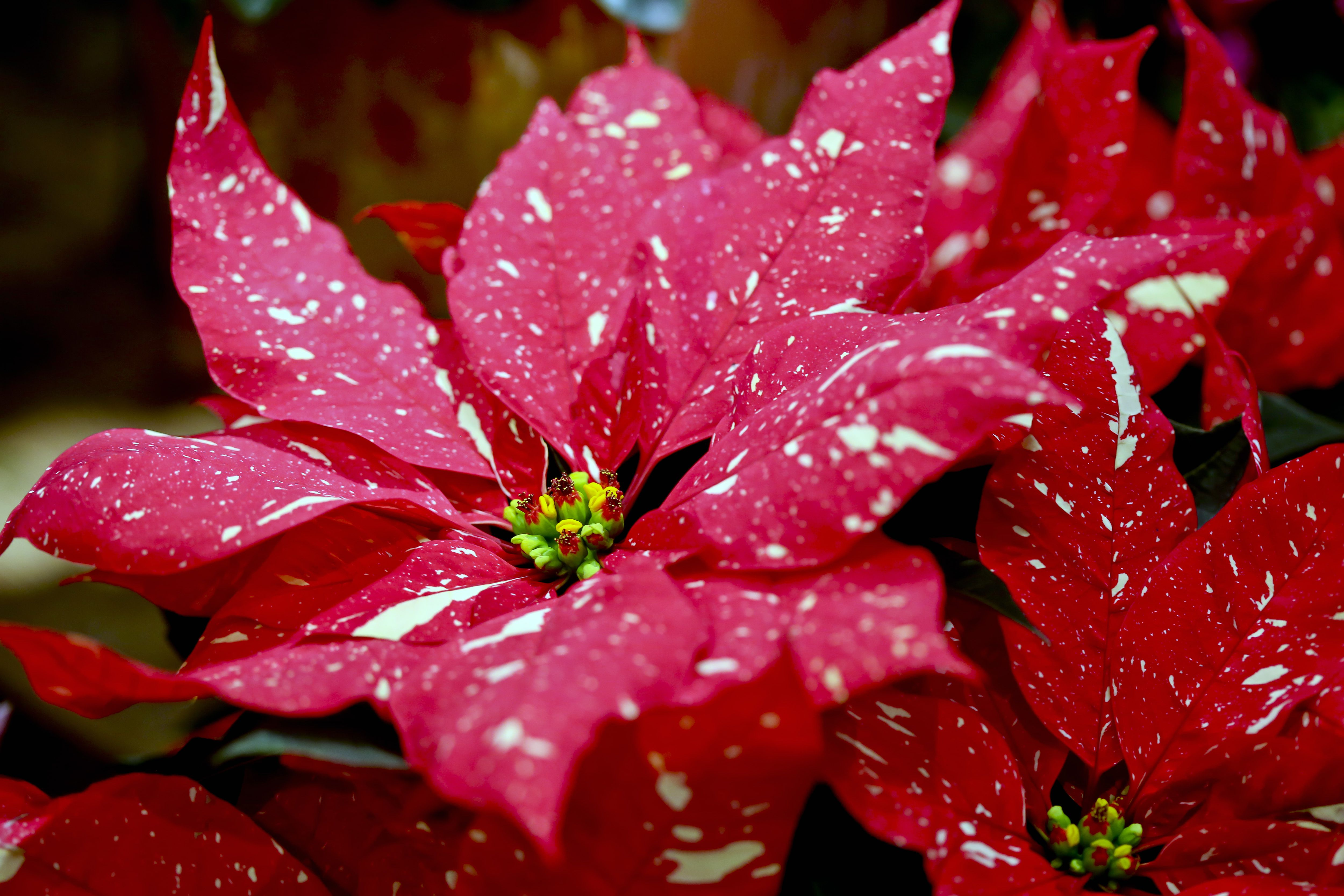 detailed view of spotted poinsettia