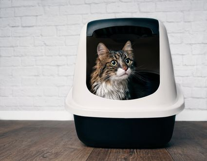 Tabby and white long haired cat looking out of their litter box