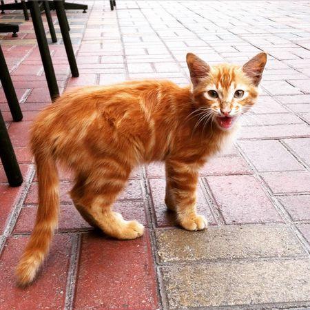 Ginger Kitten Meowing