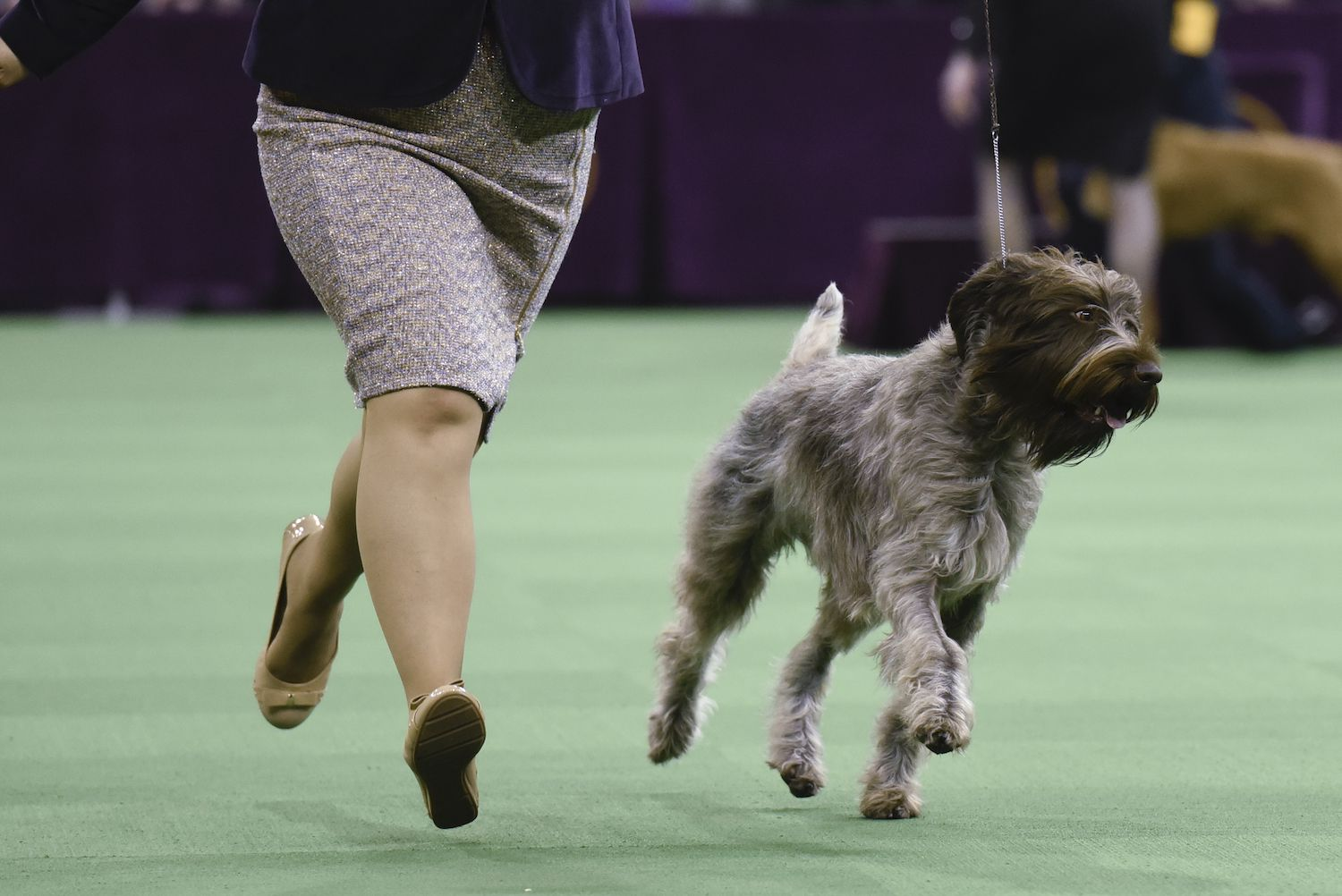 wirehaired pointing griffon in a show
