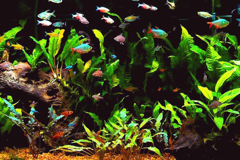 The Characin Family, why Tetras Thrive in Community Aquariums