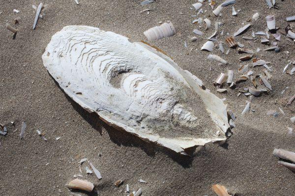 Cuttlebones