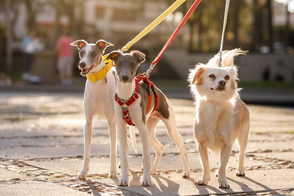 Dogs on leash with harness and collars