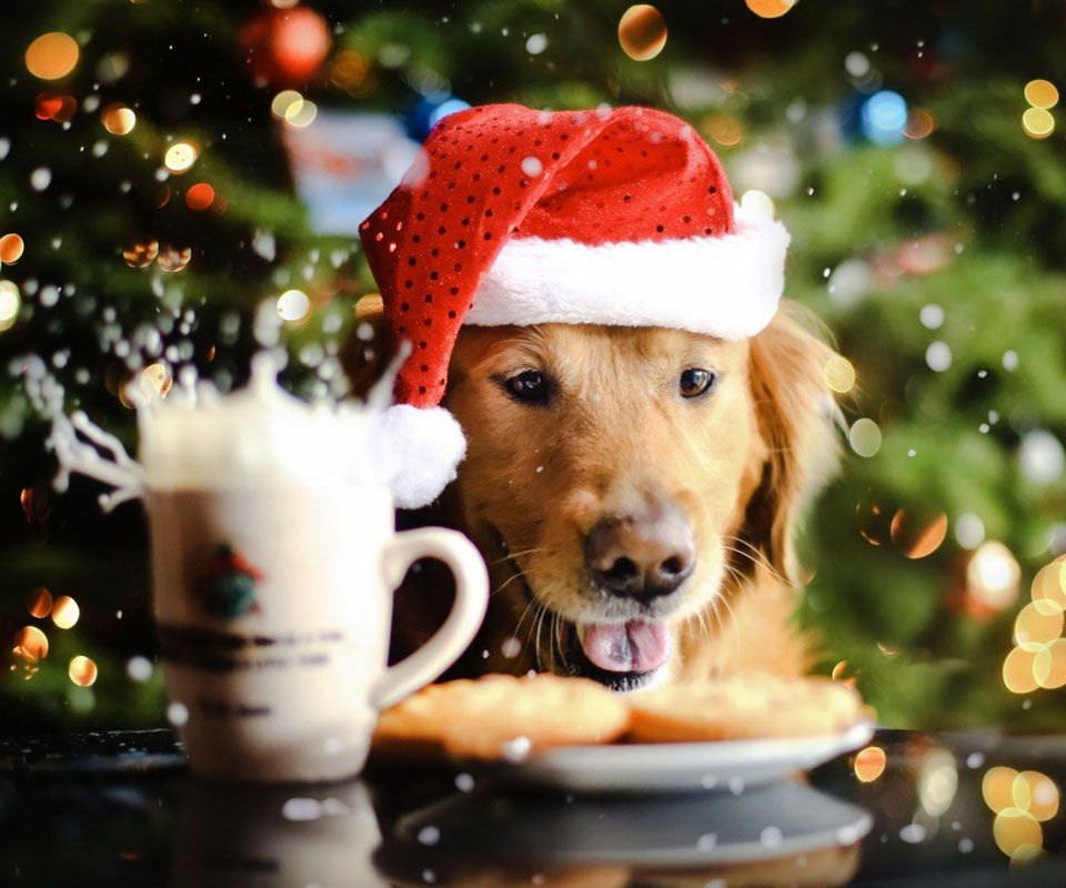 A Golden Retriever knocking over Christmas cookies and milk