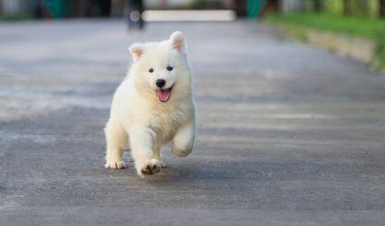 Puppy running excited
