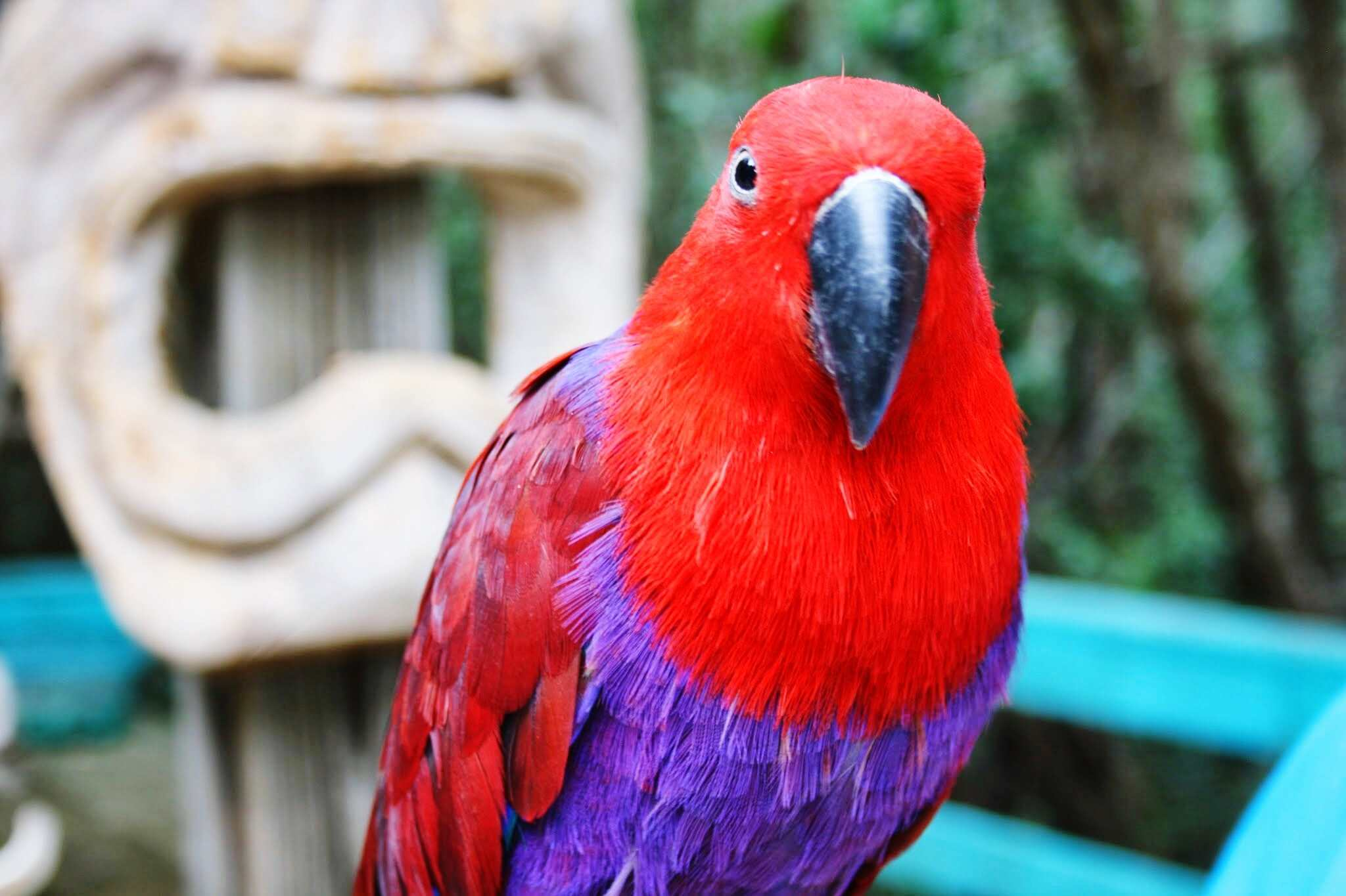 female eclectus parrot red parrot birds by thevetscare.com