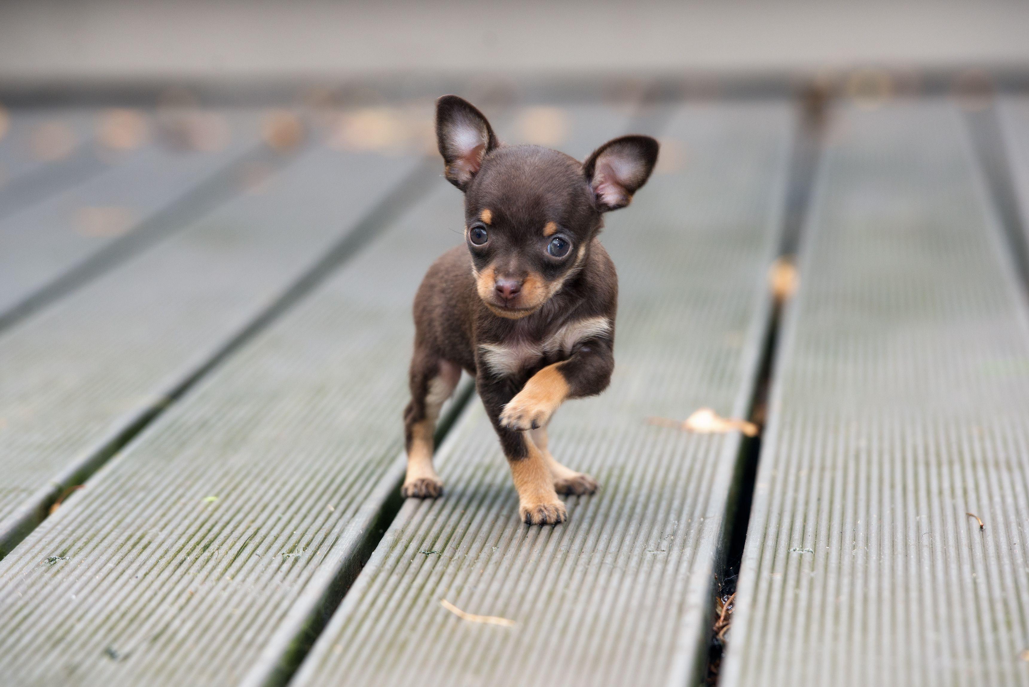 10 Cute Teacup Dog Breeds