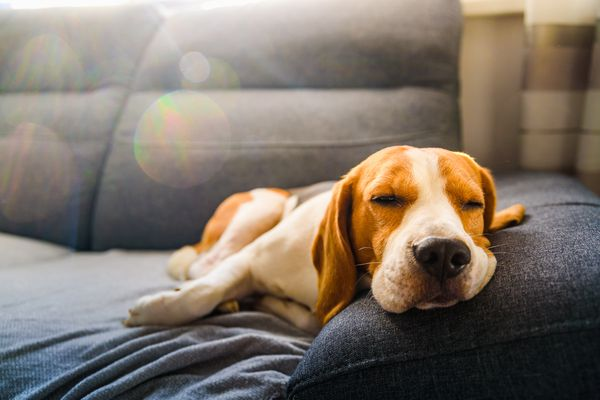 Tan & White beagle laying on a couch