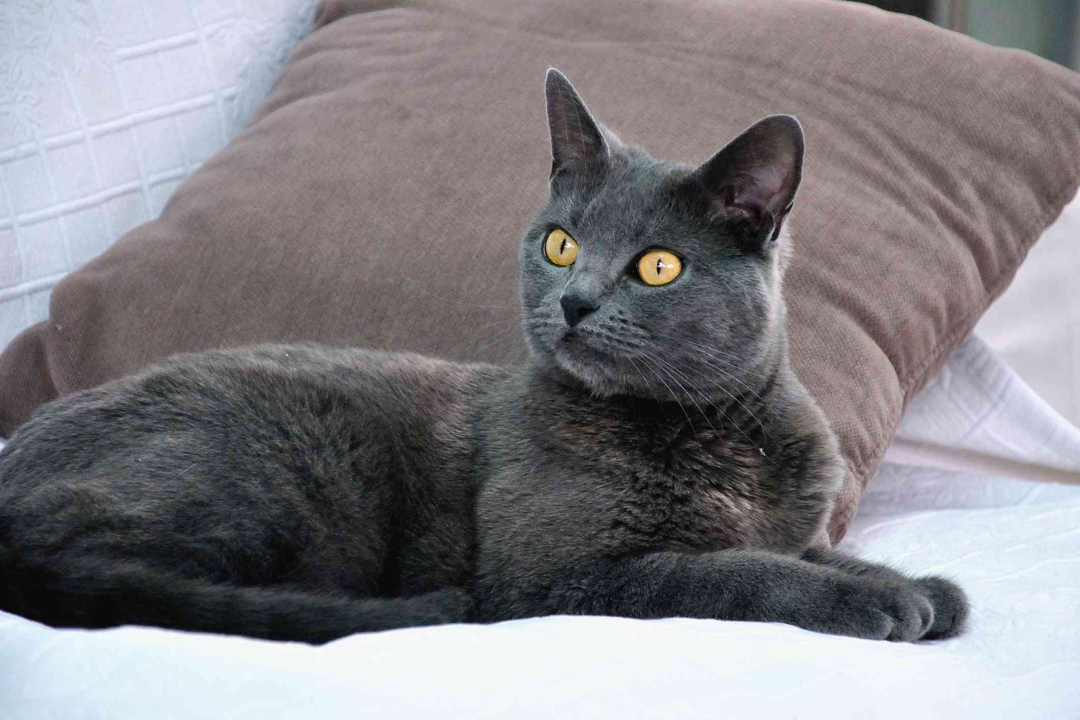 Chartreux cat lying next to pillow with alert expression