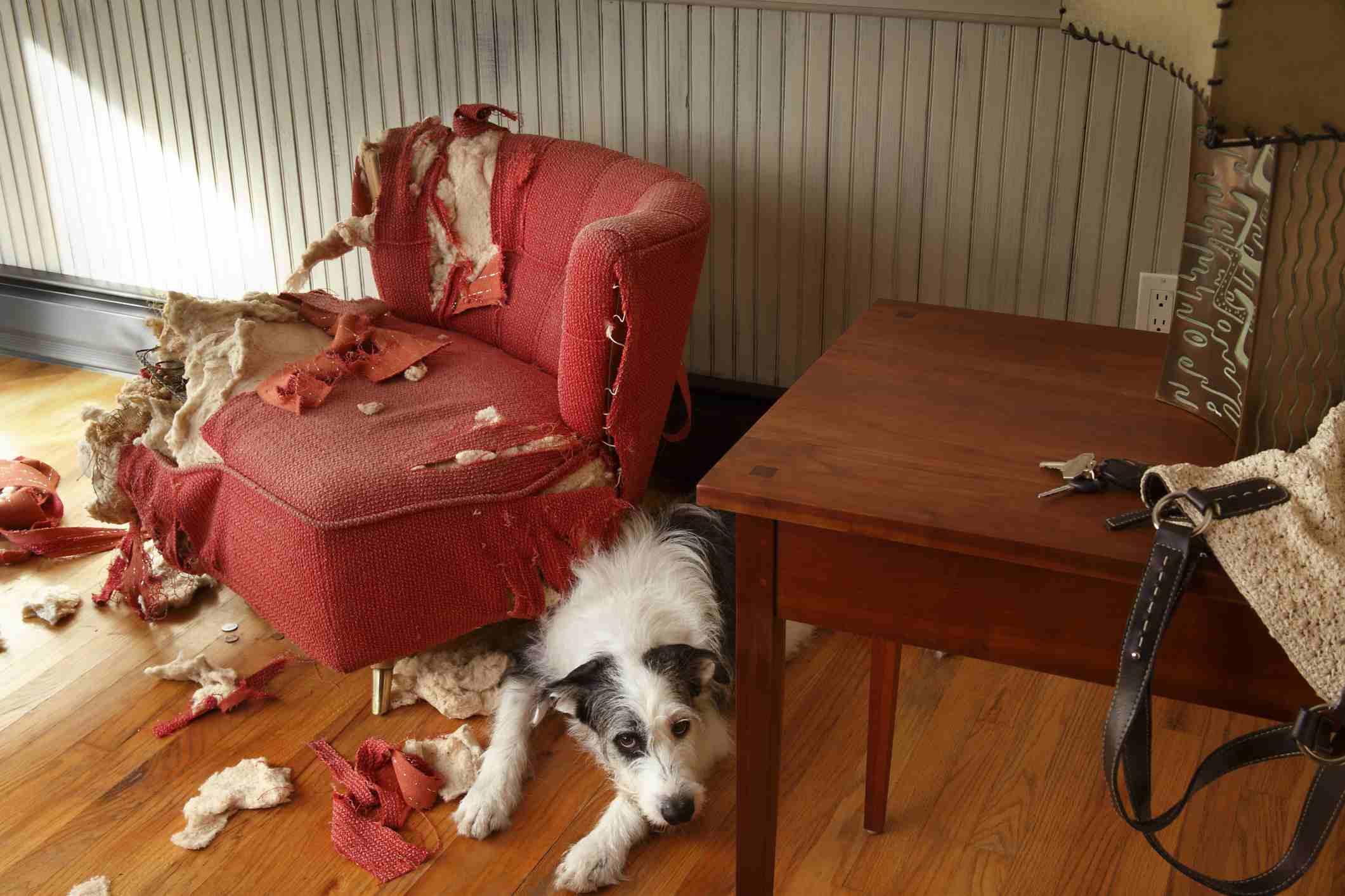 Perro travieso sentado al lado de muebles rotos
