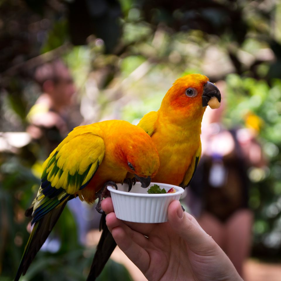 Two sun conure parrots being hand fed