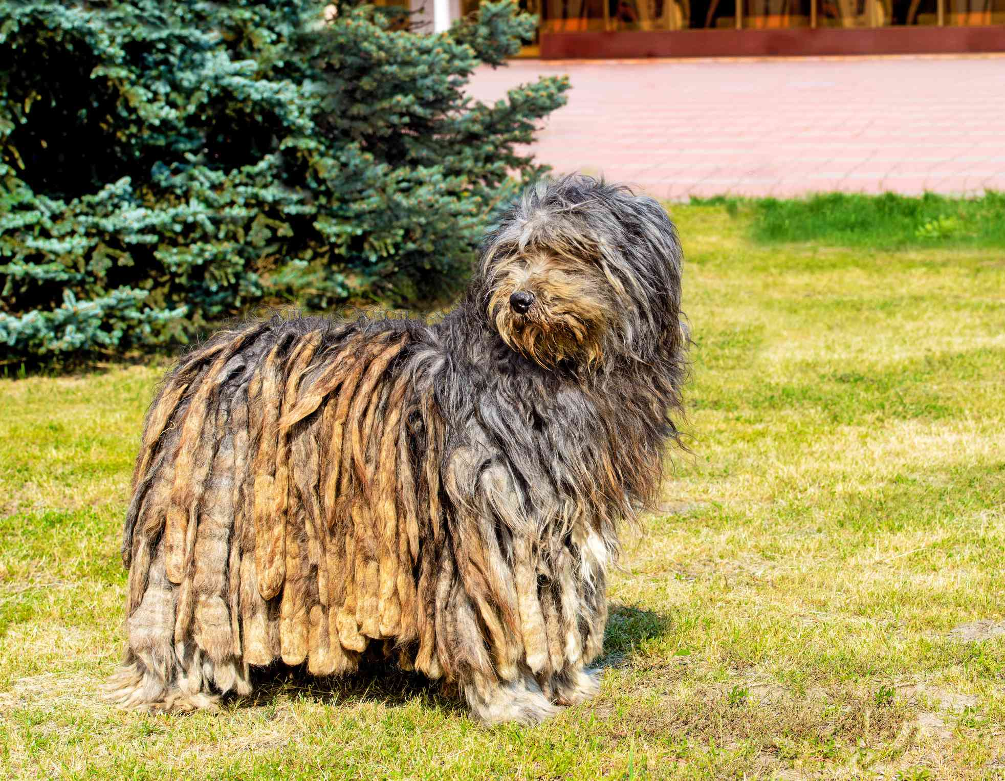 Bergamasco Sheepdog standing on a lawn