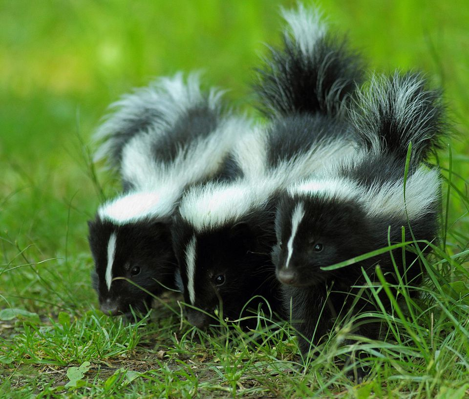 Three baby skunks on grass
