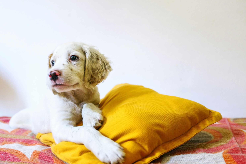 Puppy with orange pillow