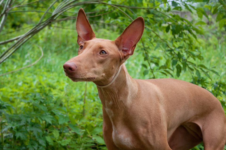 pharaoh hound under branches