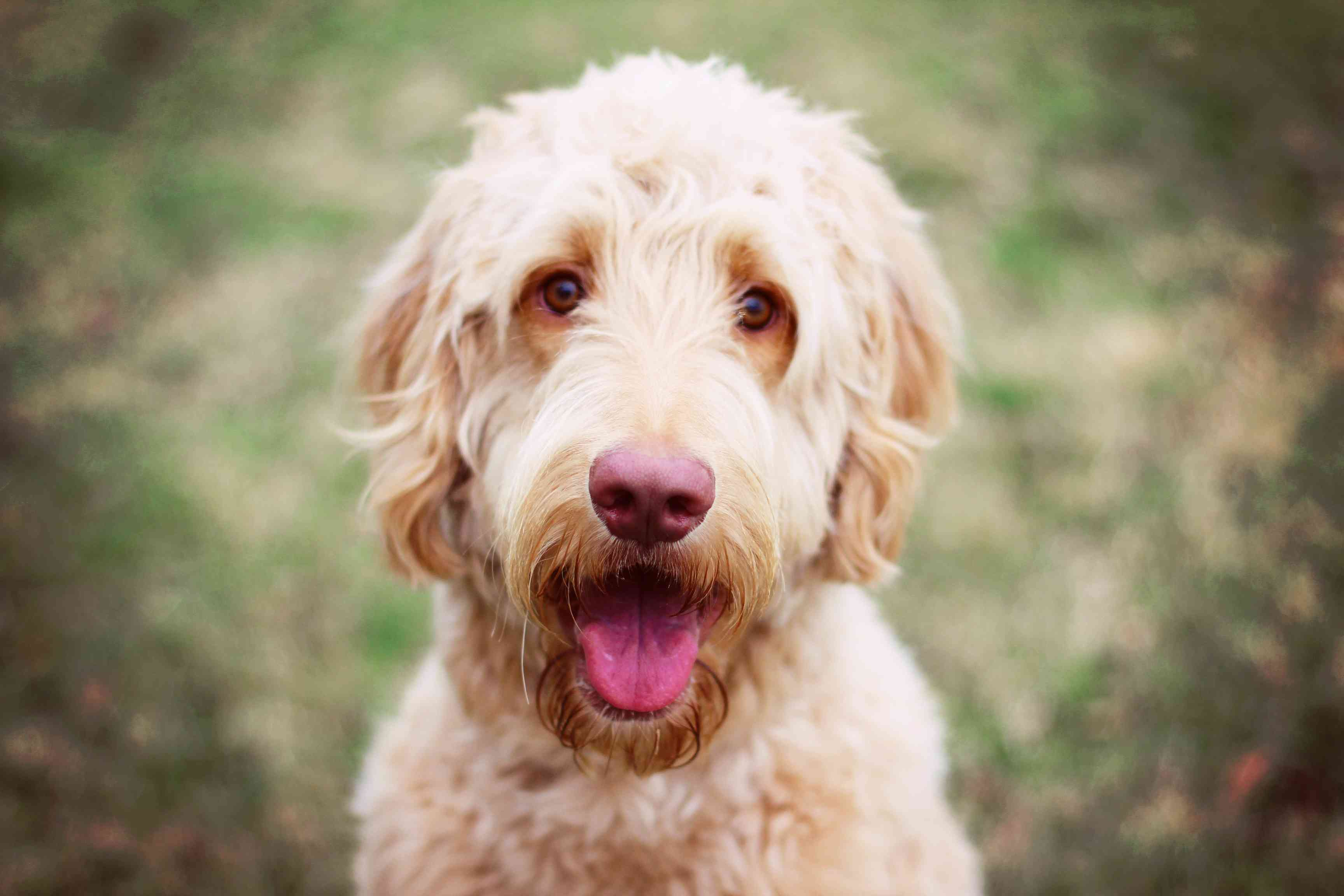 A Goldendoodle outdoors