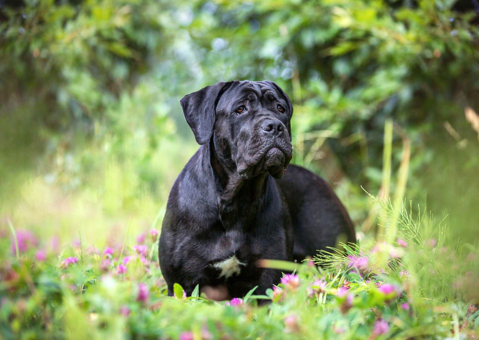 Cane corso dog outdoors