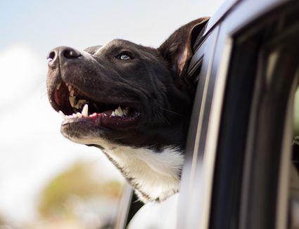 dog car window