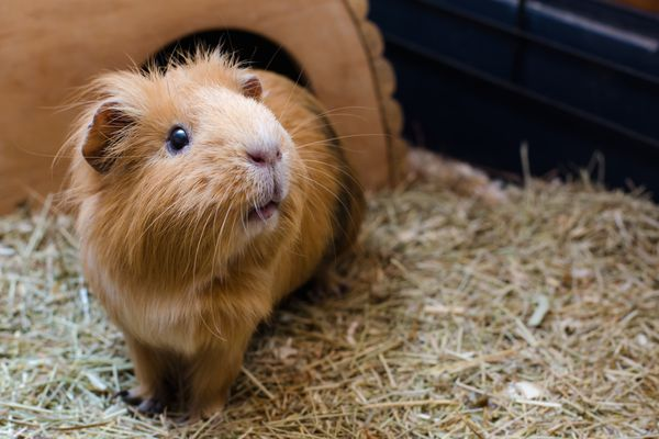 Red guinea pig on hay looking up.