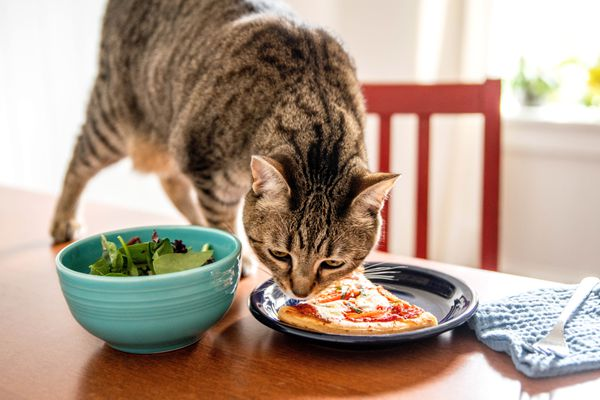 Brown cat smelling slice of pizza on black plate next to blue bowl of salad