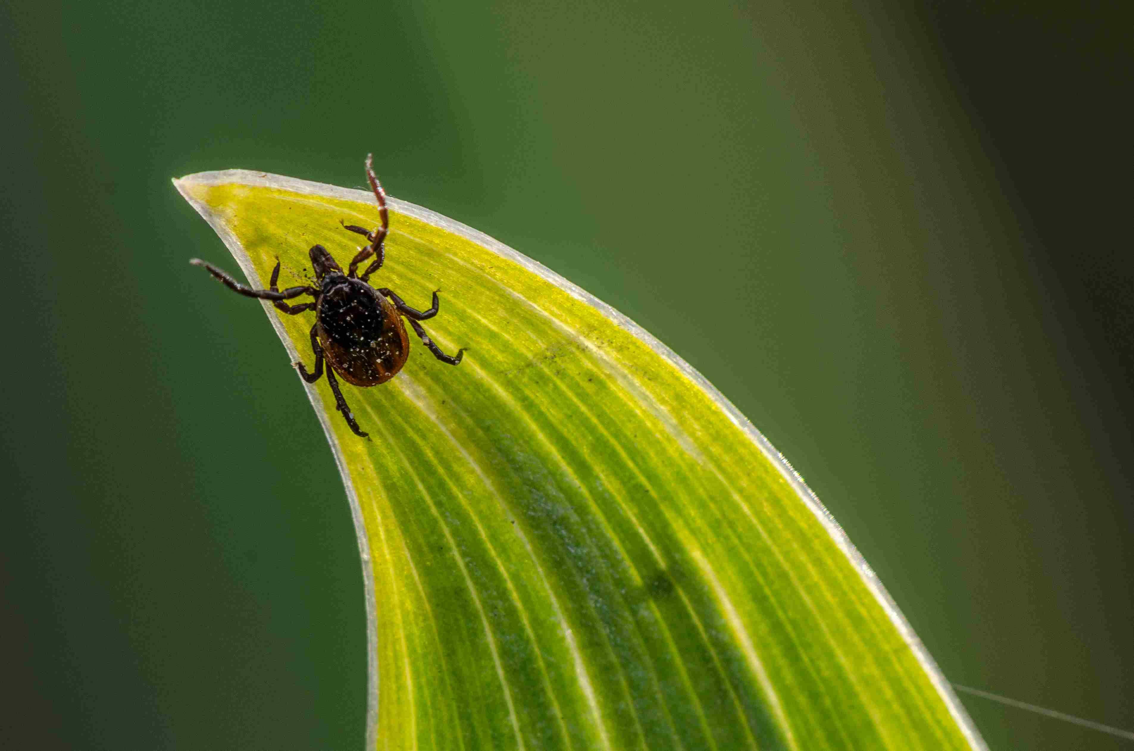 Tick in a garden