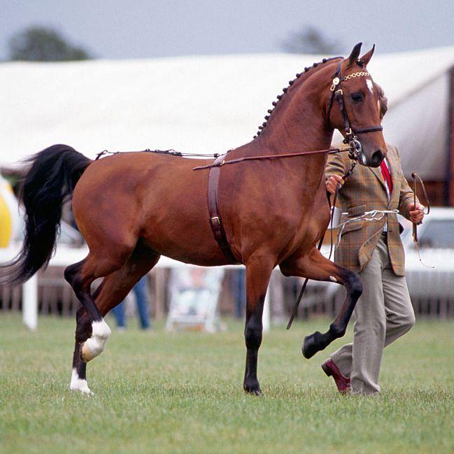 Bay Hackney Horse being shown in hand.
