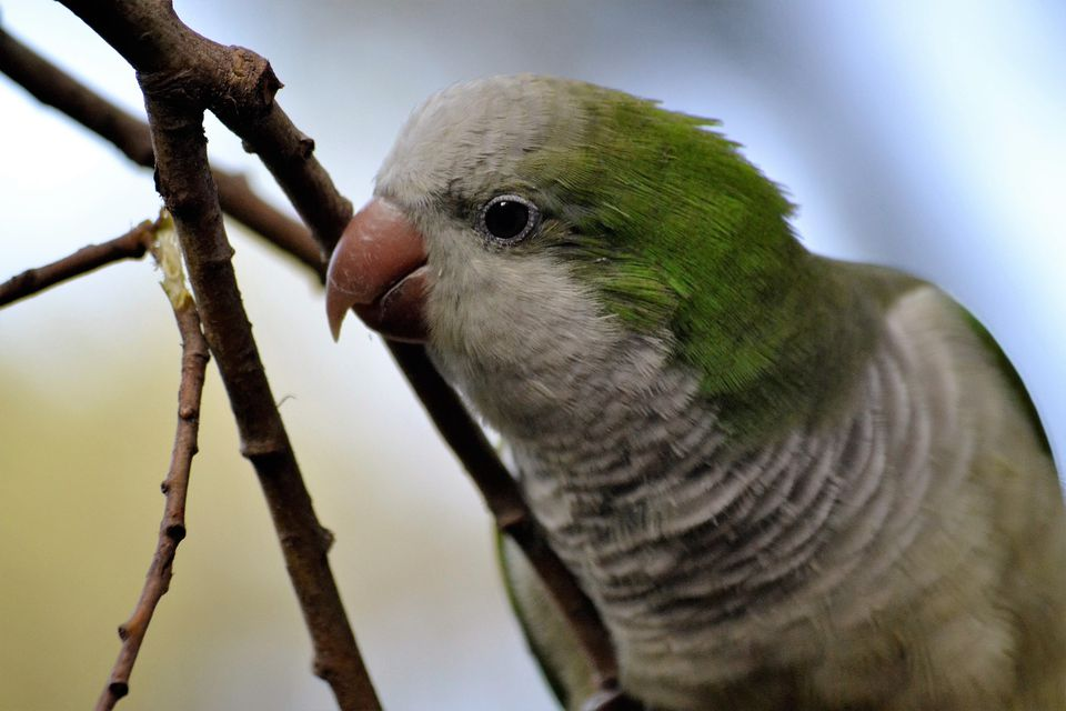Green parrot close up