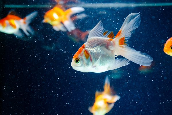 A white goldfish in its tank.