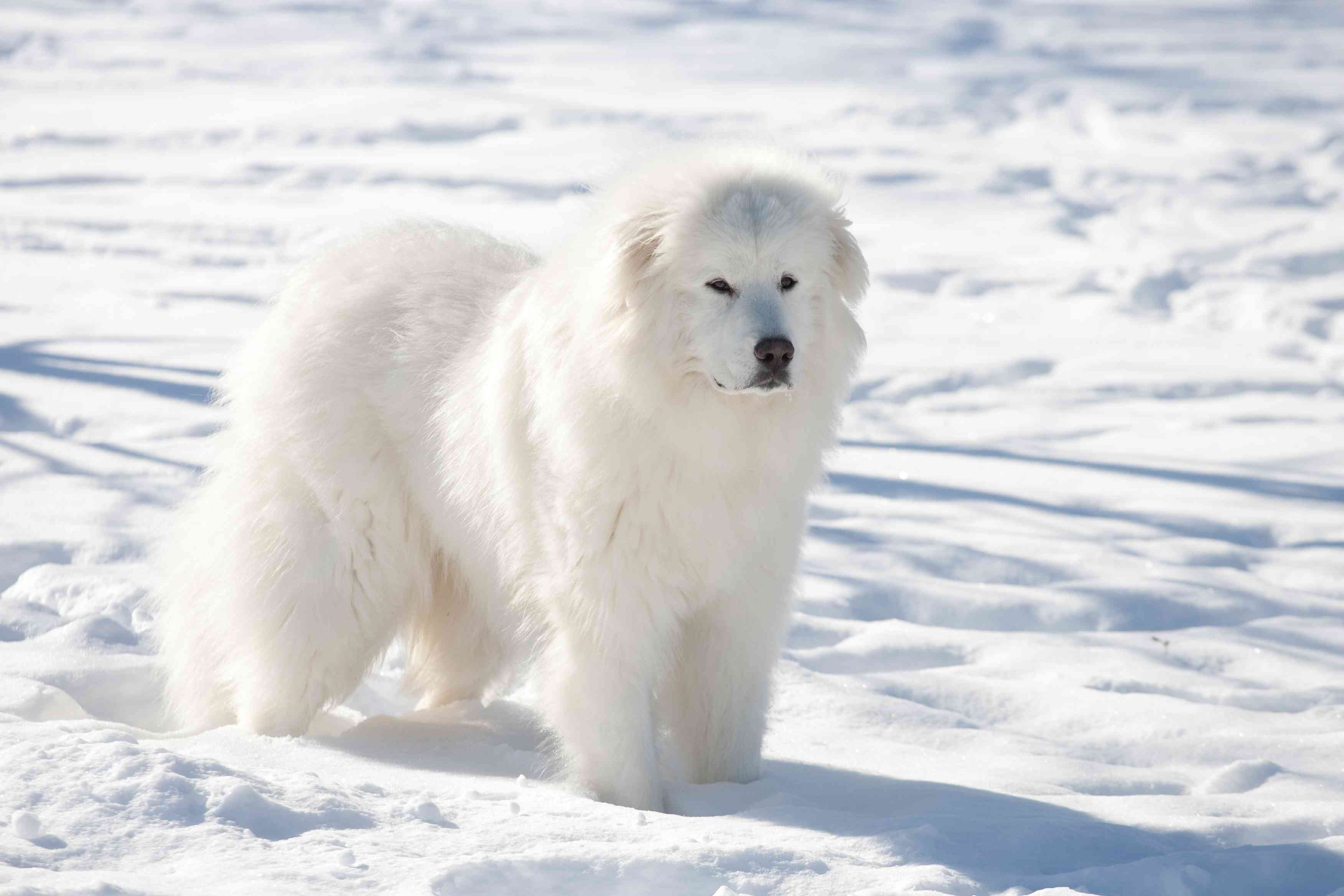 Great Pyrenees standing in the snow