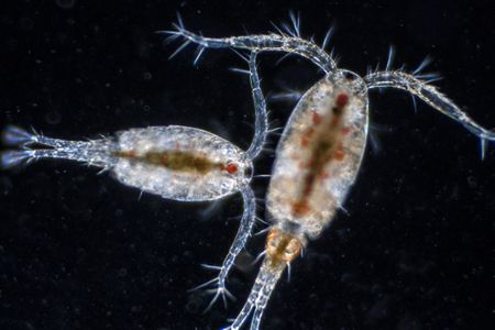 growing and cultivating amphipods and copepods
