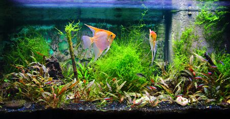 Tropical Fresh Water Aquarium Front View With Lush Foliage Plants And Some Fishes Yellow Pterophyllum Scalare