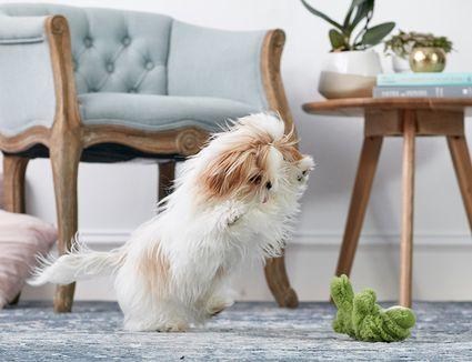 A shih tzu puppy playing