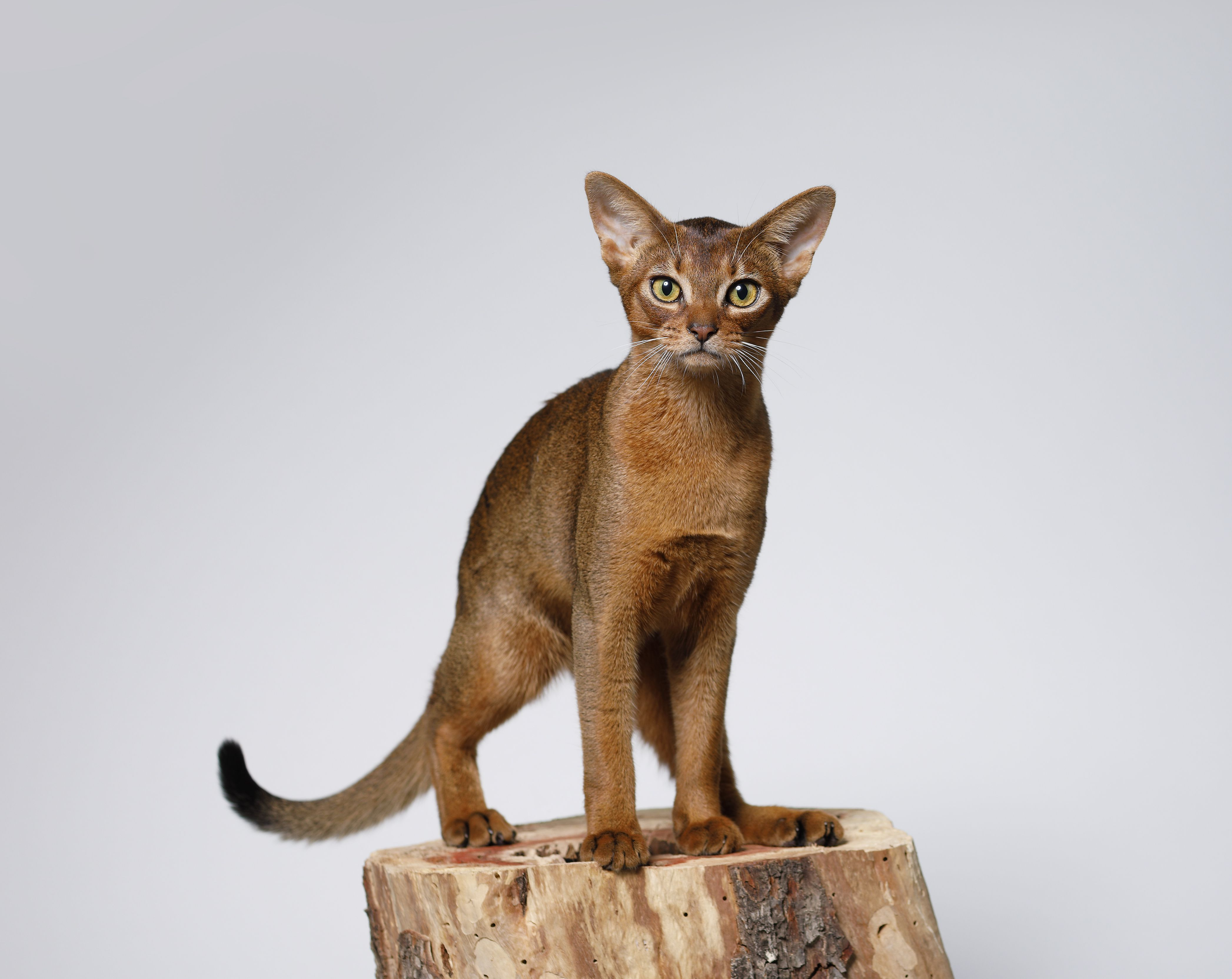 Beautiful Abyssinian Cat Standing on a tree stump
