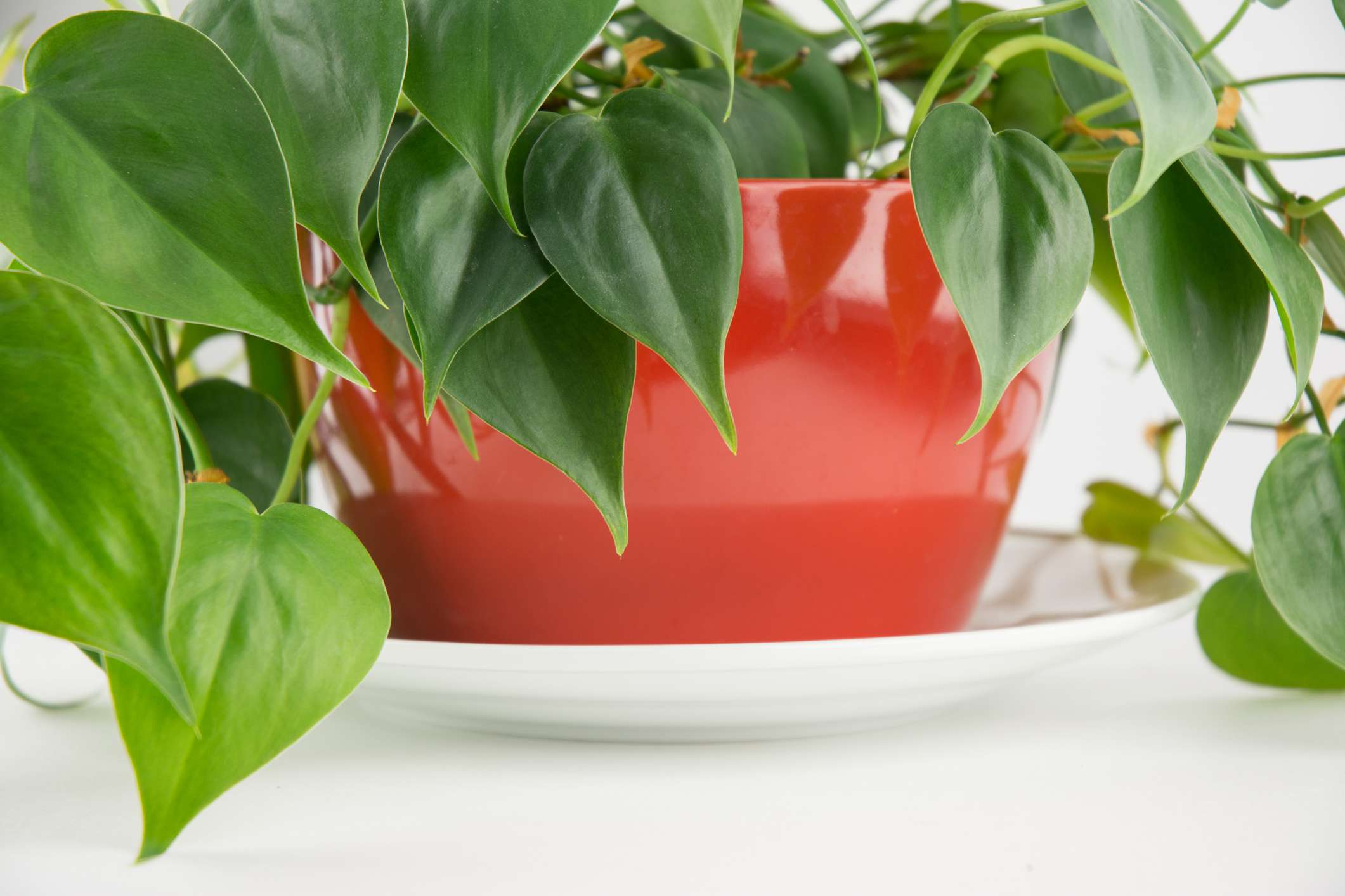 Philodendron houseplant in a red pot