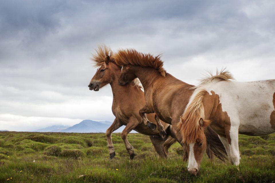 Luchando y criando caballos