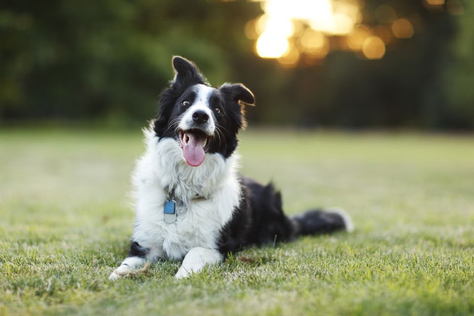 Border Collie tirado en el pasto